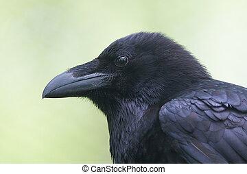 portrait, corbeau commun
