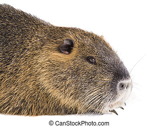 river rat images and stock photos. 536 river rat photography and