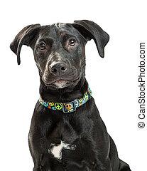 Portrait Cute Black Labrador Retriever Dog