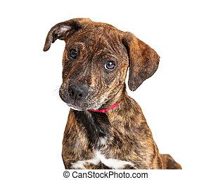 Portrait Cute Brindle Terrier Puppy Dog