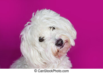 PORTRAIT CUTE WHITE MALTESE DOG TILTING ITS HEAD ON PINK BACKGROUND