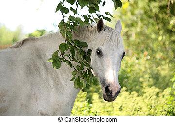 portrait, de, blanc, cheval arabe, dans jardin