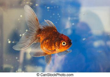portrait, de, poisson rouge, dans, eau