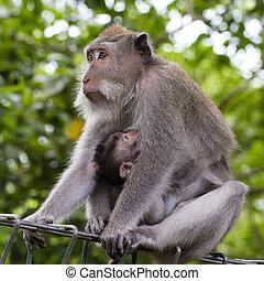 portrait, de, singe bébé, et, mère, à, sacré, singe, forêt, dans, ubud, île, bali, indonésie