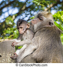 portrait, de, singe bébé, et, mère, à, sacré, singe, forêt, dans, ubud, bali, indonésie