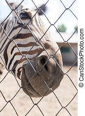 portrait, derrière, zebra, barrière, zoo