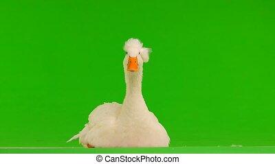 portrait duck on a green screen