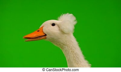 portrait duck quack on a green screen