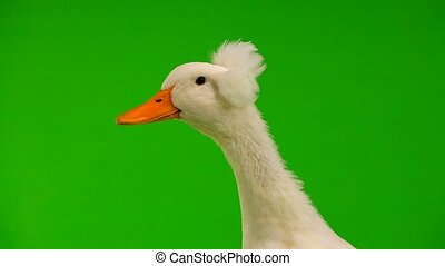 portrait duck quack on a green screen