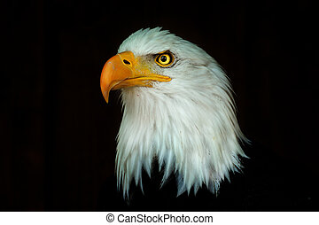 Portrait eagle, Haliaeetus leucocephalus, on the black background