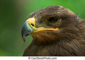 Portrait eagle in nature