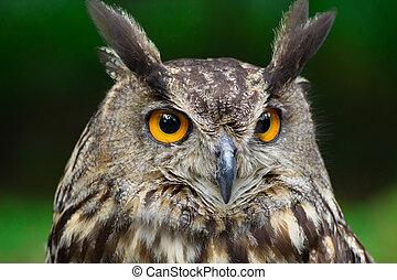 Portrait eagle-owl, bubo bubo
