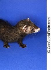 portrait, ferret., brun