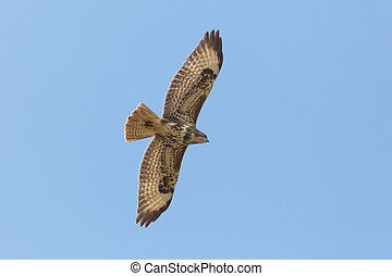 portrait flying common buzzard (buteo buteo) with spread wings