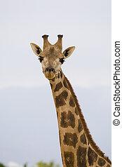 portrait, girafe