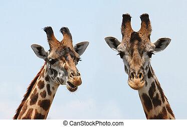 portrait, girafes