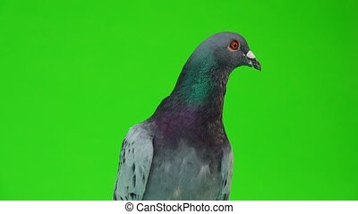 portrait gray shtihel dove isolated on green background -...