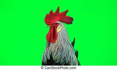 portrait grey cock  green screen