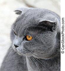 portrait, gris, yeux écarquillés, chat
