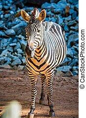 portrait, gros plan, zebra, animal, zoo