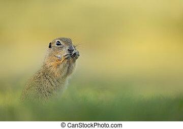 Portrait ground squirrel from wild nature