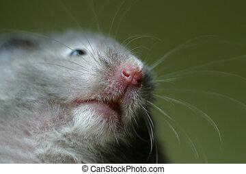 Portrait hamster
