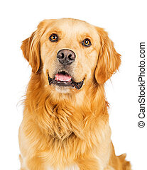 Portrait Happy Purebred Golden Retriever Dog