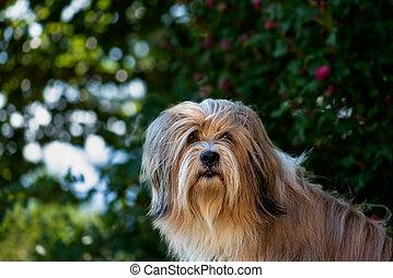 Portrait, head of a beautiful Tibetan terrier dog.