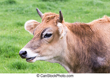 Portrait head of horned brown cow
