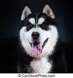 portrait, husky, studio, sibérien, chien