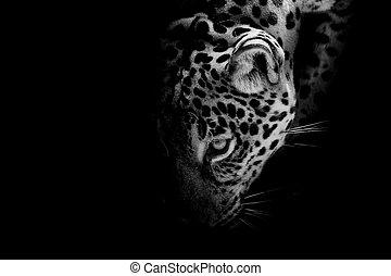 portrait, jaguar