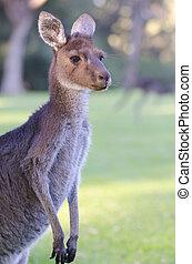 Portrait Kangaroo Australia
