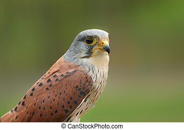 Portrait kestrel with blur green backgroun