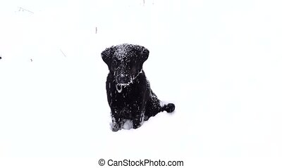 portrait labrador of a black dog on a white background in...