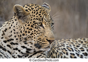 Portrait leopard lay down in at dusk to rest and relax