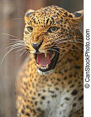 Leopard - Portrait Leopard