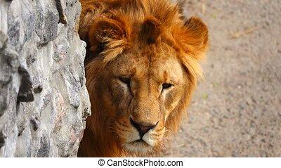 portrait, lion, sien, habitat