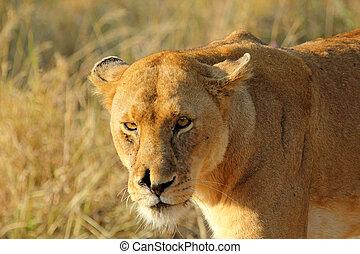 portrait, lionne