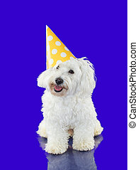 PORTRAIT LITTLE MALTESE DOG WEARING A YELLOW AND WHITE POLKA DOT PARTY HAT. ISOLATED ON BLUE COLORED BACKGROUND