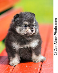 Portrait little Pomeranian puppy - Portrait of a little...