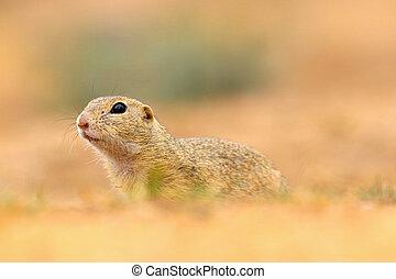 Portrait little suslik in nature