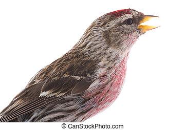 portrait male Common Redpoll