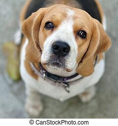 portrait, mignon, beagle, chiot, chien, regarder, haut.