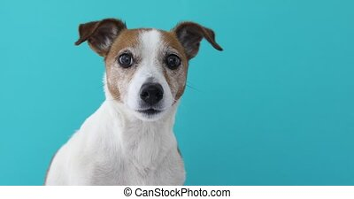 Portrait nice Jack Russell Terrier blue background -...