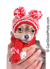 Portrait of 3 months old cute chihuahua puppy with amusing hat with pompons