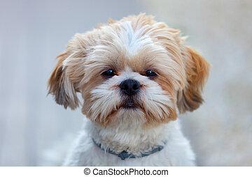 Portrait Of Face Shih Tzu Dog Portrait Of Face Shih Tzu Dog In
