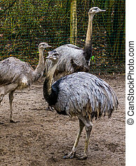 portrait of a American rhea in closeup with 2 other rheas in...