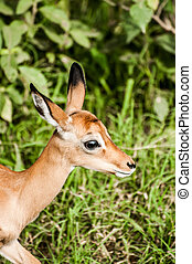 Portrait of a baby impala