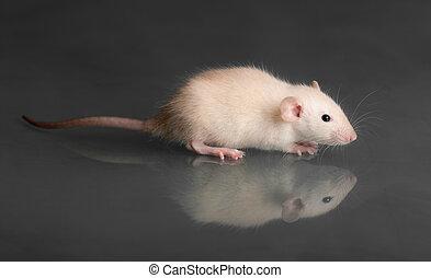 baby rat on glass