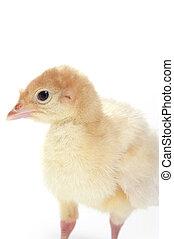 Portrait of a baby turkey